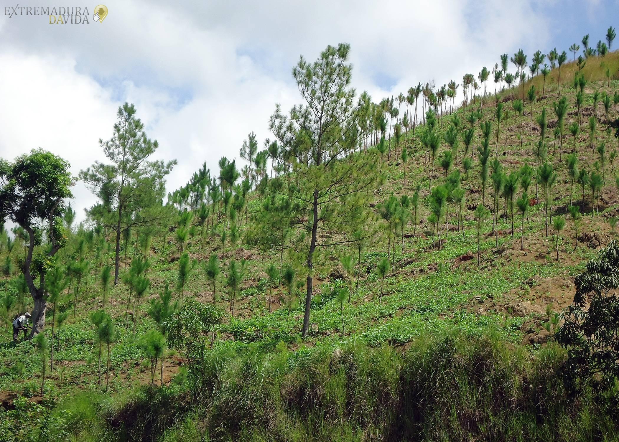 Reforestación Cáceres Plasencia Buenaventura La Vera